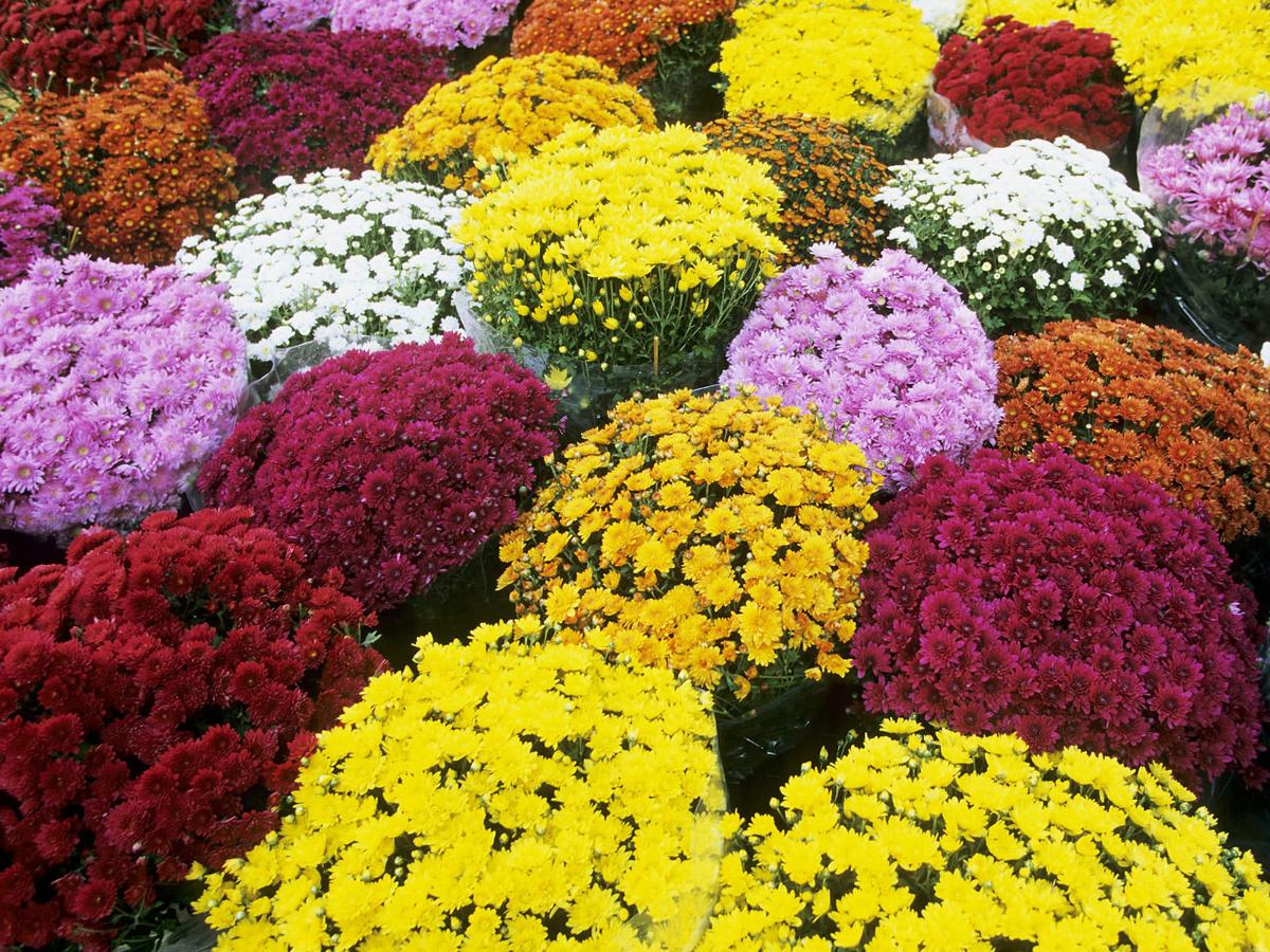 Mums other fall flowers can add pop of color to your yard mums izmirmasajfo