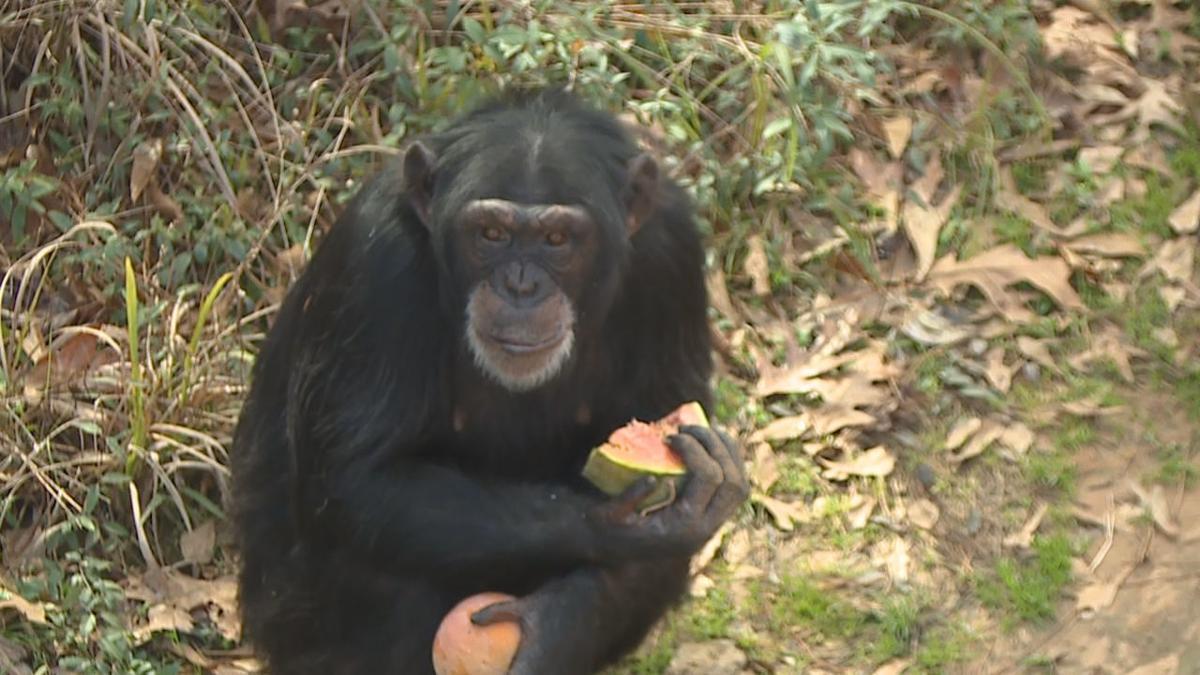 Chimp Haven 1.jpg