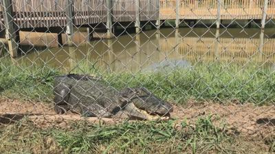 Female alligator protecting her eggs.jpg