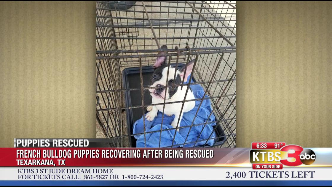French Bulldog Puppies Rescued From Hot Van Ktbscom