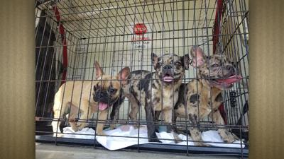 French Bulldog Puppies Rescued From Hot Van News Ktbscom