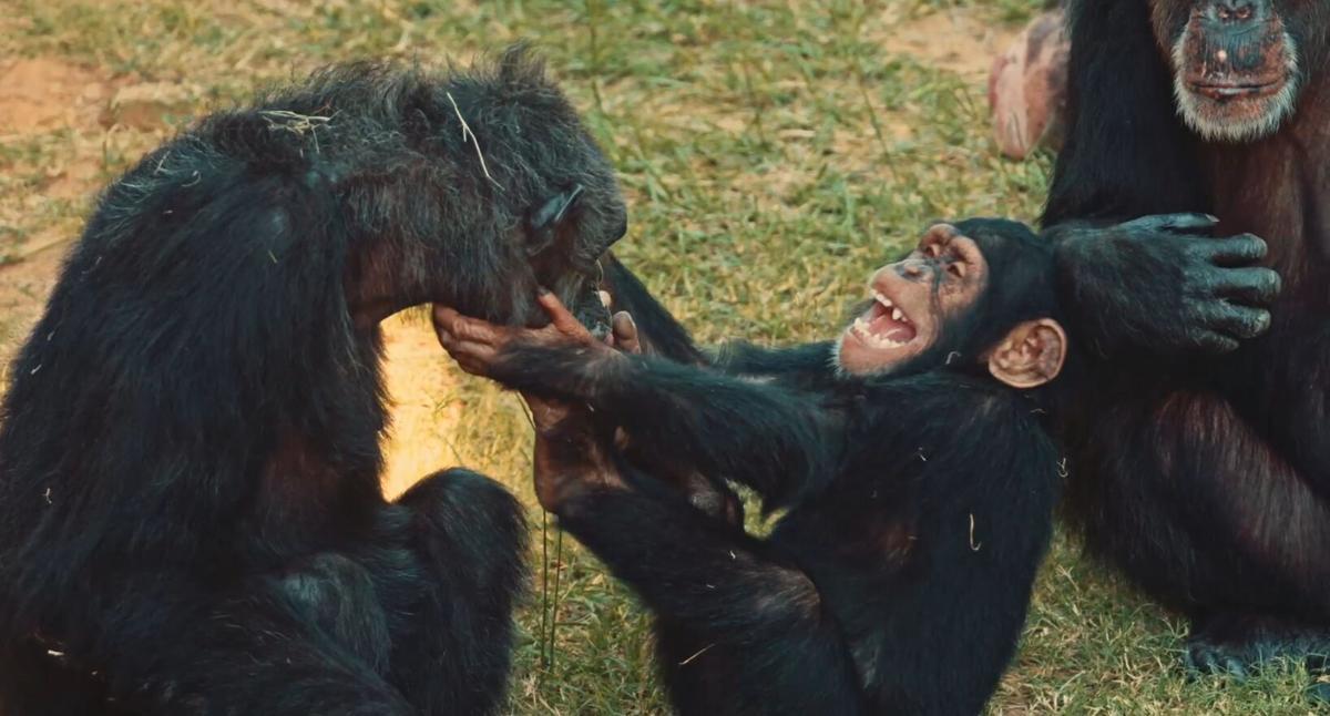 Chimp Haven - chimp laughing