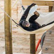 Chimp Haven - Riley