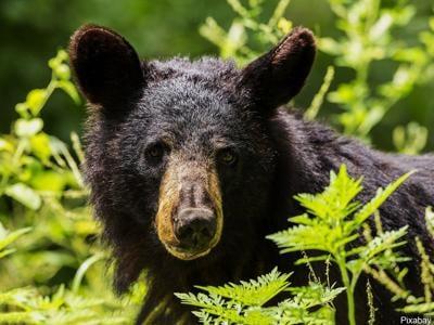 Generic black bear photo