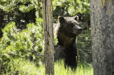 Grizzly bear in forest