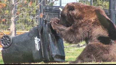 Grizzlies Test 'Bear Resistant' Containers to Help Reduce Conflicts with Humans
