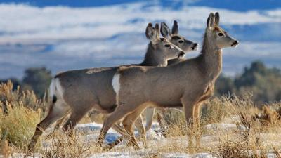 Montana approves special hunt to address disease
