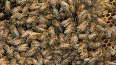 Honey bees threatened by mites and pesticides