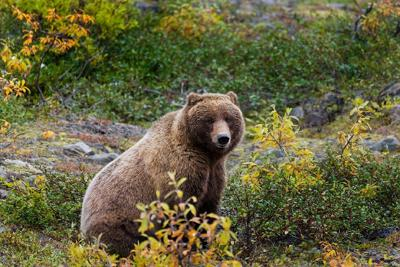 Grizzly bear in fall