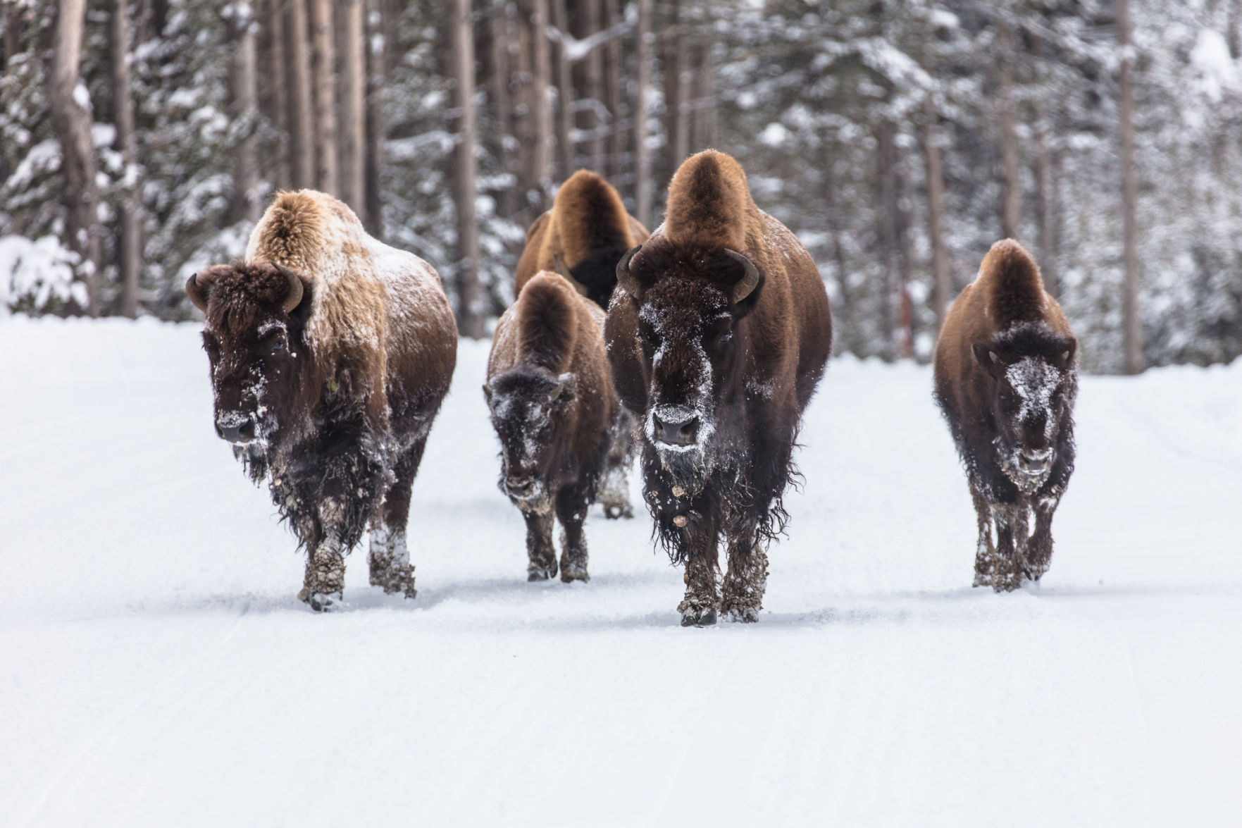 American Prairie Reserve partners with Native Nations to further bison conservation