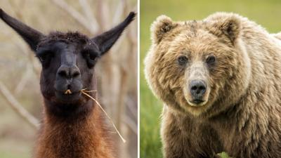 Llama and Grizzly Bear