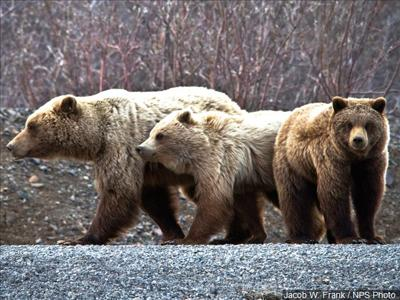3 Grizzly Bears Struck And Killed By Trains Near Glacier National