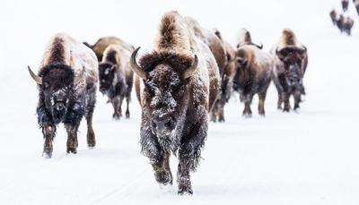 More than 550 Yellowstone bison removed so far this winter