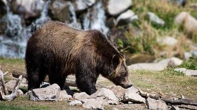 Montana wildlife officials kill food-conditioned grizzly