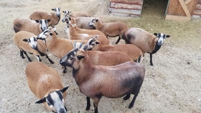 Help a Hamilton family find their 15 missing sheep