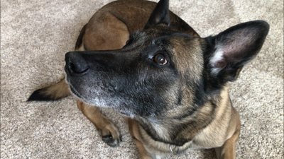 """Billings Police K-9 Officer """"Cuff"""" retires after almost 9 years of service"""