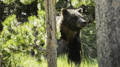 Grizzly bear moved away from residential areas in NW Wyoming