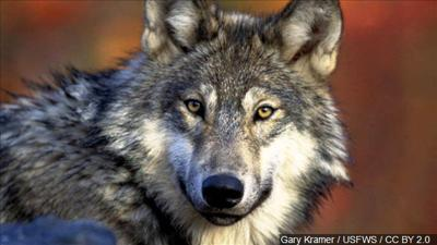 Wolf trapper certification class coming to Billings