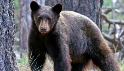 Poachers Kill Black Bear Sow in Mineral County, Leave 2 Cubs