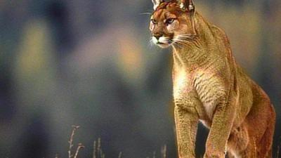 Mountain lion spotted in Laurel