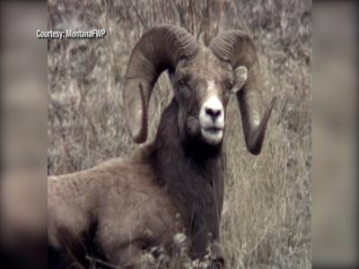 New law allows recovery of bighorn sheep skulls and horns