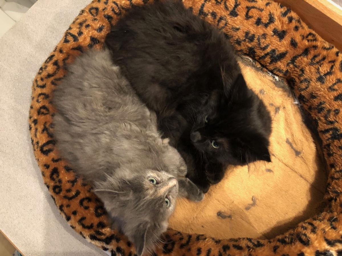 Cascade County growing cat overpopulation problem