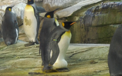 Two male penguins adopt egg in a Berlin Zoo