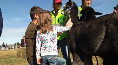 Alpacas of Montana open house