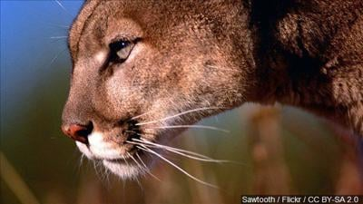 Possible mountain lion sighting in East Helena