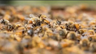 Can Montanans save the bees?