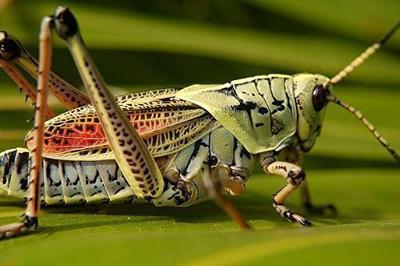 Northwest Braces for Grasshopper Outbreak