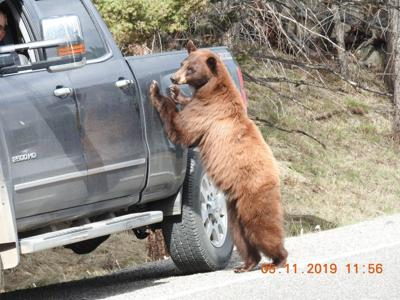 Black bear touches cars in Yellowstone