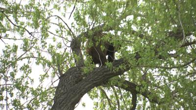 Bear legally harvested in Laurel