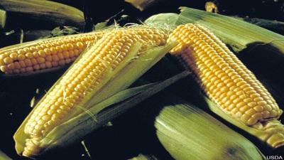 harvest-corn1