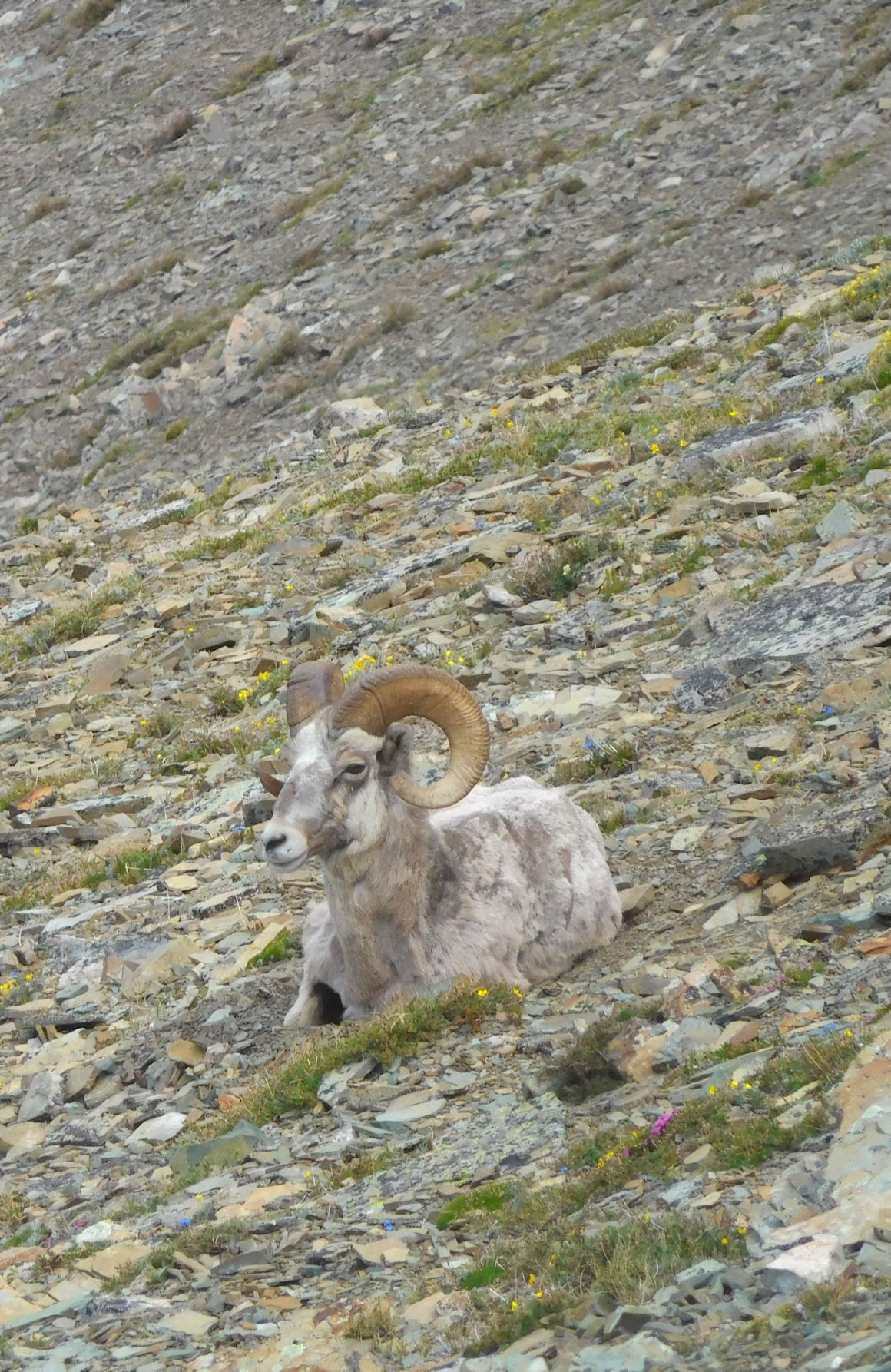 Bognorn sheep lying peacefully along the trail