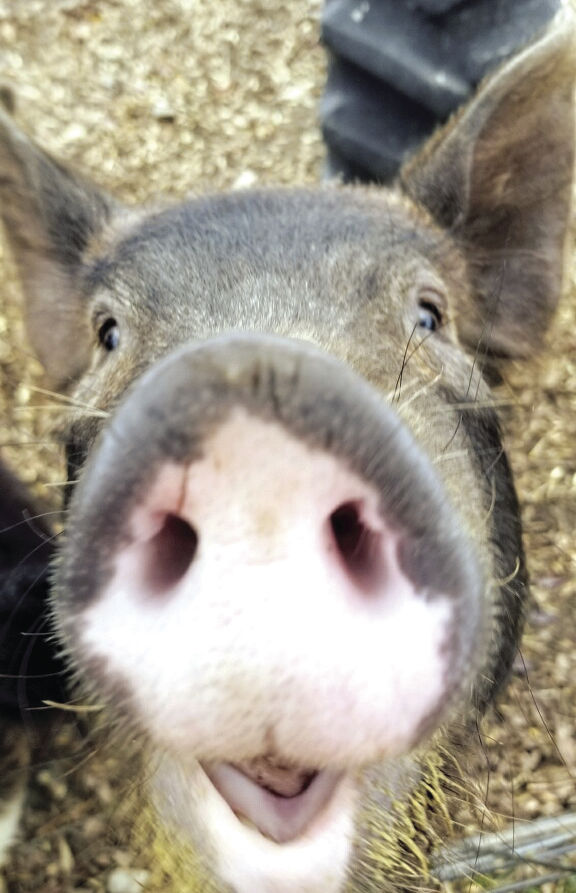 grover the piglet to remain in beans greens petting zoo