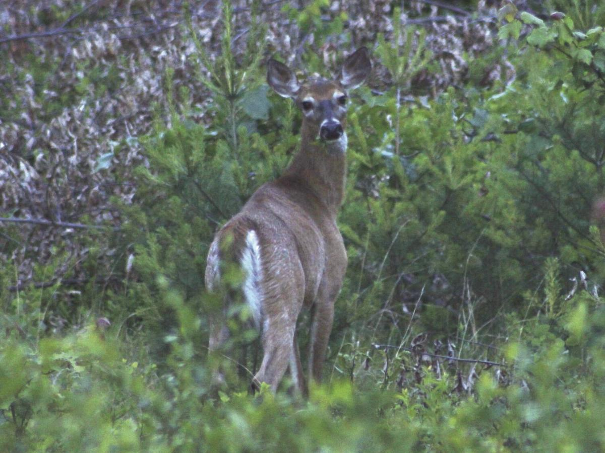 A deer on alert stops its  browsing.