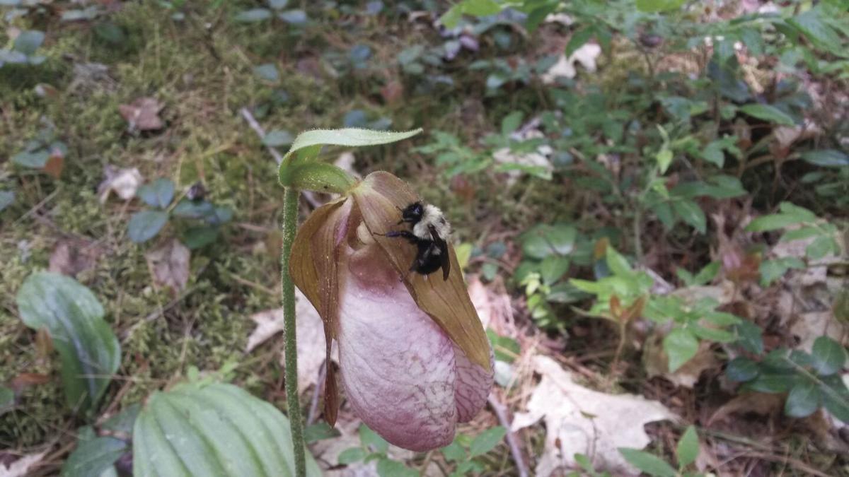Lady's Slipper blossom