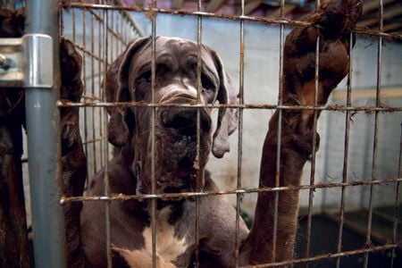 84 Great Danes seized, police say Wolfeboro home was a puppy mill