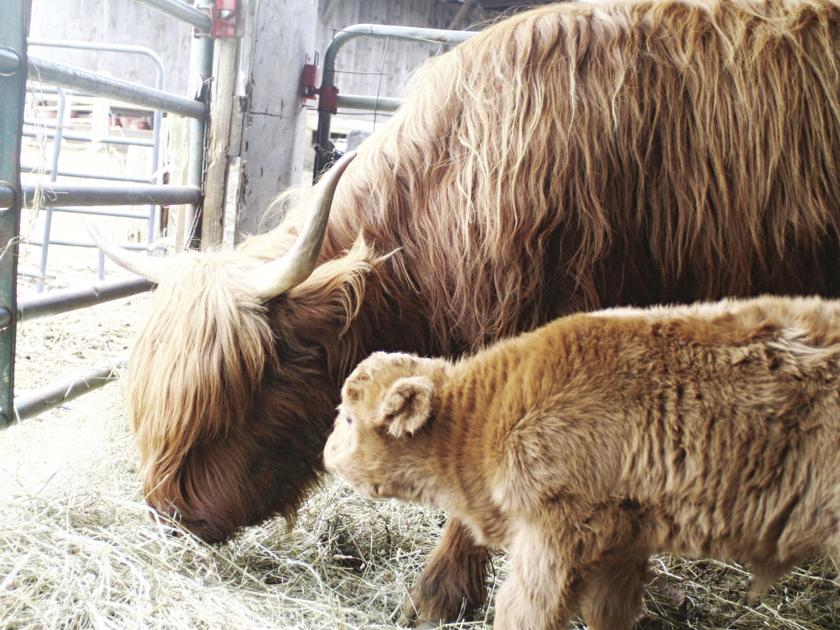 Calf-birth by appointment?