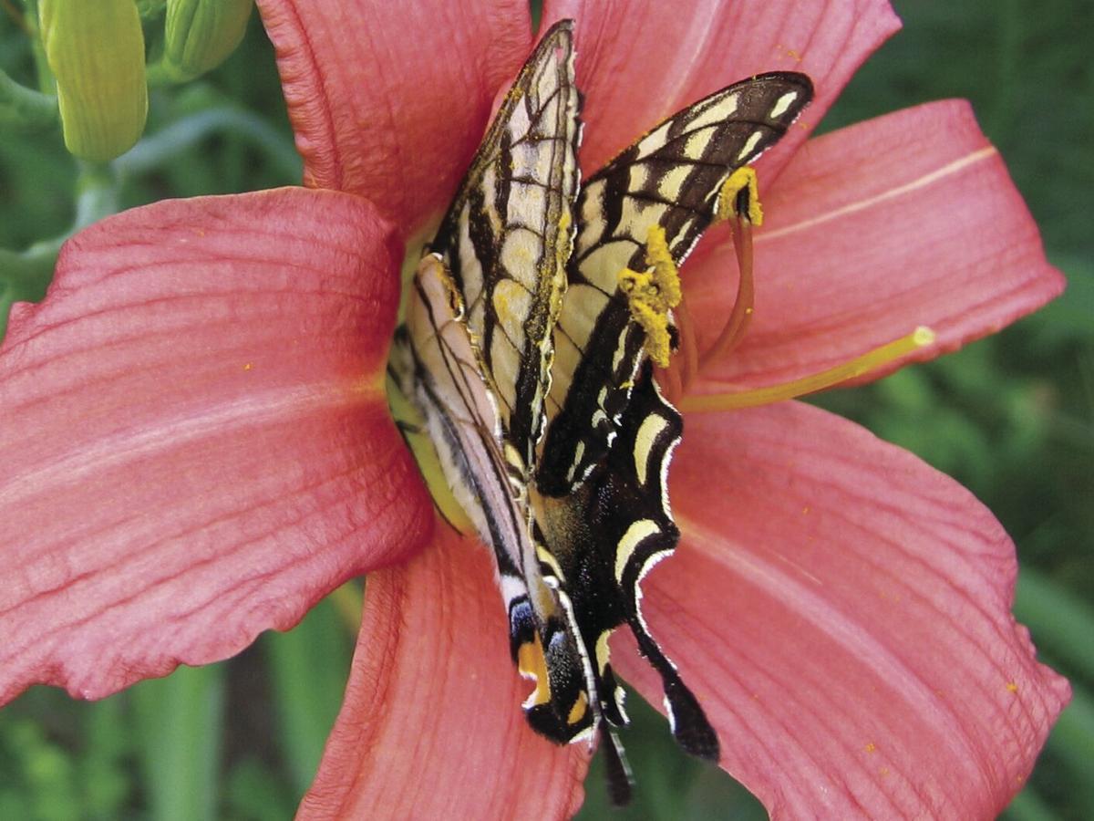 Pollen on wings