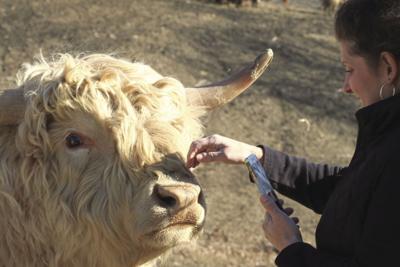 """Want to practice """"cow speak""""?"""