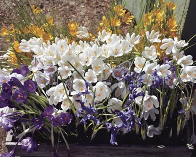 05-15 LS Crocus Bouquet