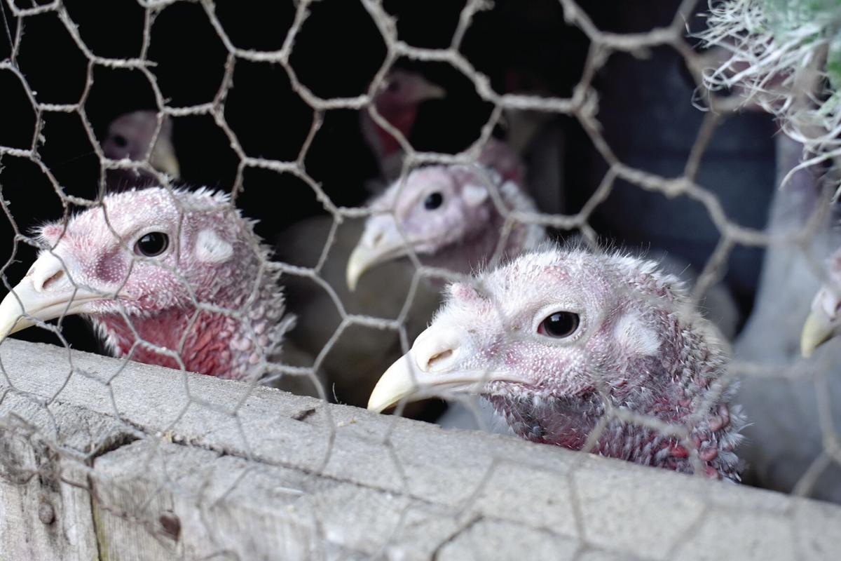 11-18 Turkeys hens
