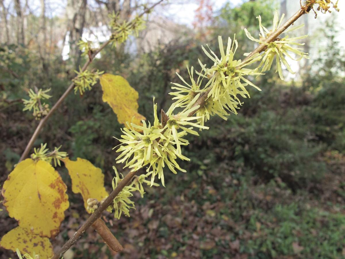 Witchhazel blossoms.