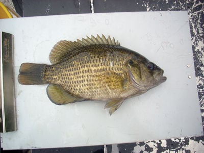 Fishermen's dilemma – Rock bass crowding in on Winnipesaukee's sport fishery
