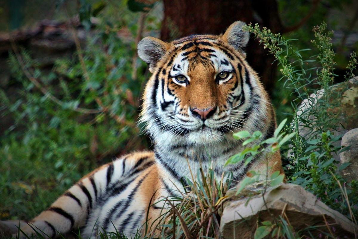 Amur tiger_Christopher Carter Saint Louis Zoo.jpg