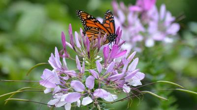 butterfly on cleome.jpeg