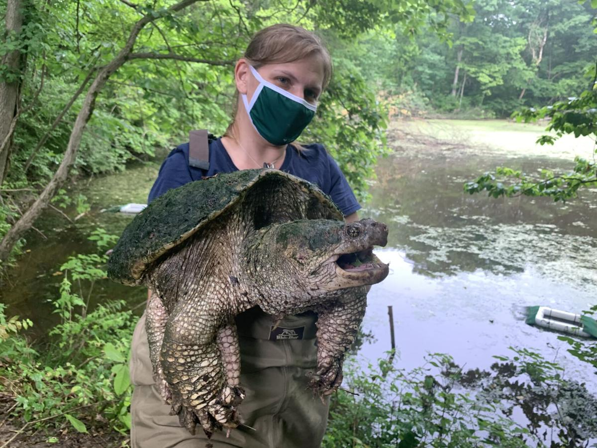 Aquatic turtles study_snapping turtle with Zoo researcher_Saint Louis Zoo WildCare ParkJPG.JPG