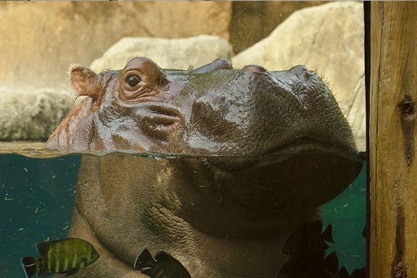 Hippo closeup_Saint Louis Zoo.jpg